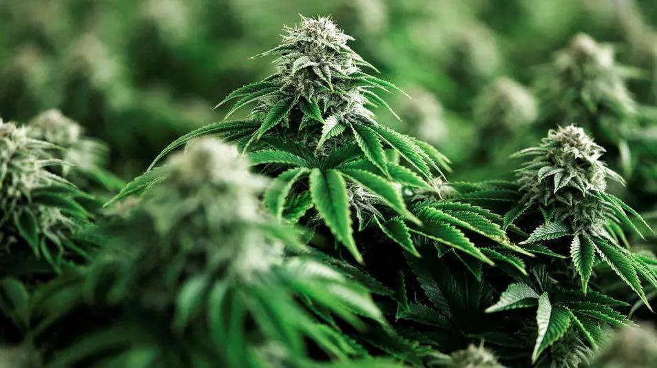Supreme Court upholds legalisation of recreational use of marijuana